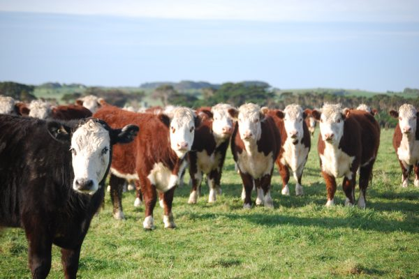 Cattle on King Island